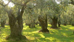 huile d olive à nice