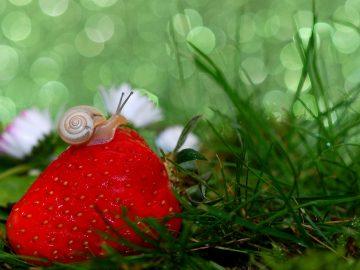 Escargot sur une fraise