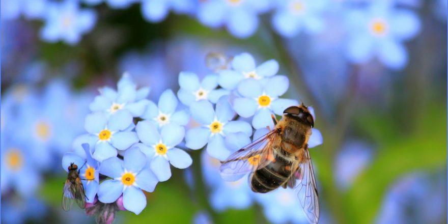 Abeille qui butine une fleur bleue
